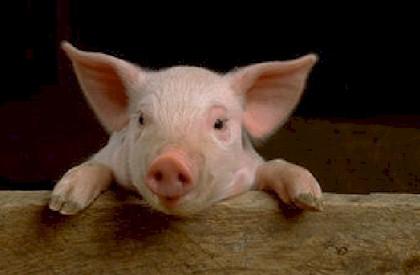 pig-henry